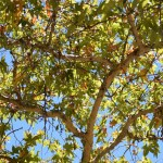 Blue sky with green leaves in sunshine12