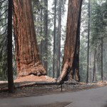 Giant sequoia along a trail12