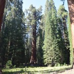 Giant sequoia amongst pine trees12