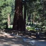 Giant sequoia near a trail12