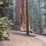 Giant sequoia tree12