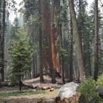 Giant sequoias amongst pine trees12