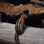 Golden-mantled ground squirrel on a tree trunk12