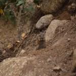 Golden-mantled ground squirrel112