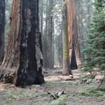 Half burned sequoia trunk12