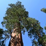 Looking up to a giant sequoia12
