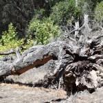 Massive fallen tree12