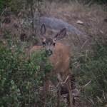 Mule deer peek-a-boo12