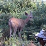 Mule deer12