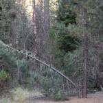Pine tree bends at base12