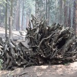 Roots of a giant sequoia above ground12