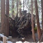 Roots of a giant sequoia12