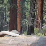 Sequoias behind a fallen tree trunk12