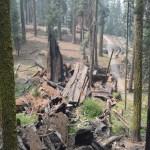 Shredded giant sequoia12
