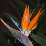 Birds of Paradise close up12T1