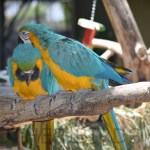 Blue and yellow Macaws12OB