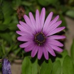 Dark Purple daisy12