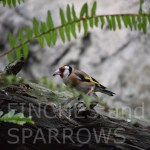 European Goldfinch12FaS