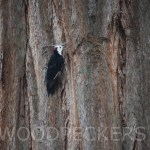 White-headed woodpecker12W