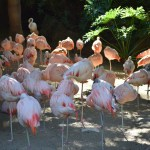 Chilean Flamingos12