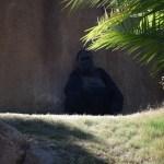 Female Western Lowland Gorilla12