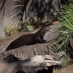 Giant River Otter12