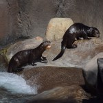 Giant River Otters12