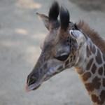 Maasai Giraffe baby portrait12