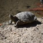 Sunbathing Western Painted Turtle12