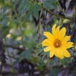 Tree Marigold12