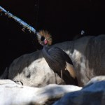 West African Crowned Crane12