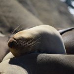 Baby Sealion enjoys the sun12