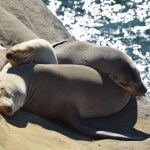 Sleeping Sealions12