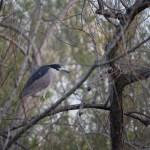 Black-crowned Night Heron on a tree12