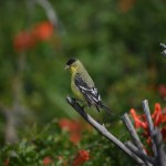 Goldfinch on a branch12