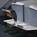 Great Blue Heron at the harbor12
