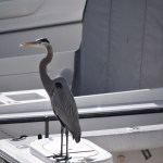 Great Blue Heron on watch12