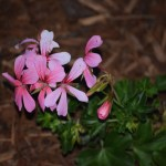 Pink Geranium12