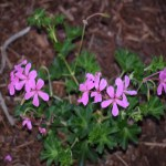 Pink Geraniums12