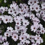 White Daisy bush12