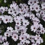 White Daisy bush12