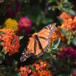 Damaged winged Monarch Butterfly12