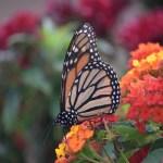 Drinking Monarch Butterfly on Largeleaf Lantanas12