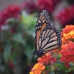 Drinking Monarch Butterfly12