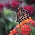 Monarch Butterfly drinks from Largeleaf Lantana12