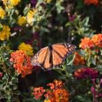 Monarch Butterfly on Largeleaf Lantana12