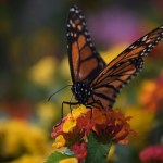 Monarch Butterfly ready to take off12