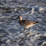 Sandpiper in the ocean12