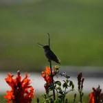 Singing hummingbird12