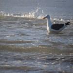 Swimming Seagull12